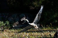 A great blue heron takes flight on the shores of Balsam Lake, Killarney Provincial Park, Ontario, Canada