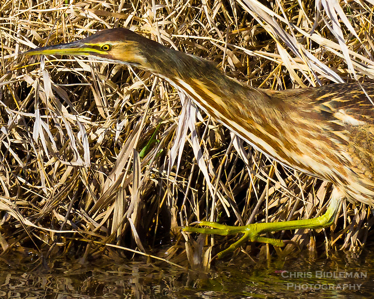An American Bittern (Botaurus lentiginosus) is walking along a stream bank with dried grass and reeds along the water in the Ridgefield National Wildlife Refuge.