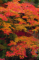 Maple tree in Autumn, Kyoto, Japan