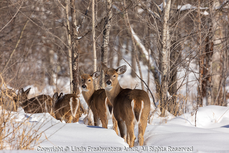 White-tailed deer traveling an animal trail in the winter snow of northern Wisconsin.