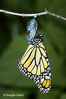 MO04-004e  Monarch Butterfly - adult emerging from chrysalis - Danaus plexippus