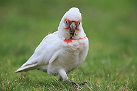 Long-billed Corella (Cacatua tenuirostris) foraging in the grass in Rymill Park in Adelaide, South Australia.