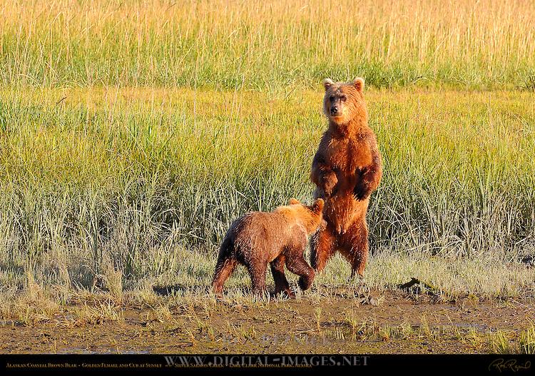Alaskan Coastal Brown Bear, Golden Female and Cub at Sunset, Silver Salmon Creek, Lake Clark National Park, Alaska