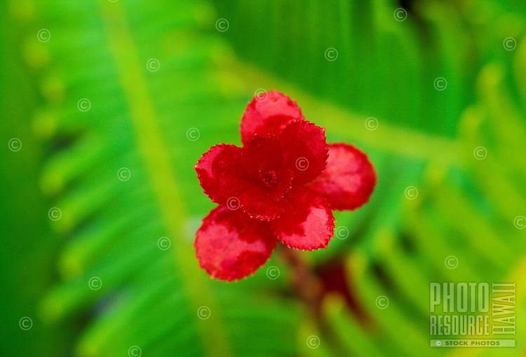 Ohelo (vaccinium reticulatum)blossom, a small native shrub used for food and medicine.