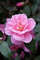 Camellia x williamsii 'Donation' (japonica x saluenensis), mid March.