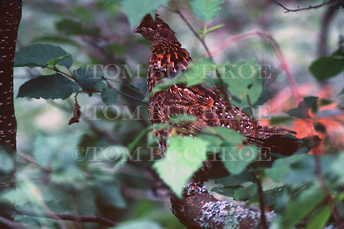 Ruffed grouse or partridge, Bonasa umbellus, in the Upper Peninsula of Michigan.