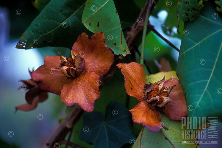 Kokia drynariodes, an endangered native Hibiscus from the Big Island, seed capsules.