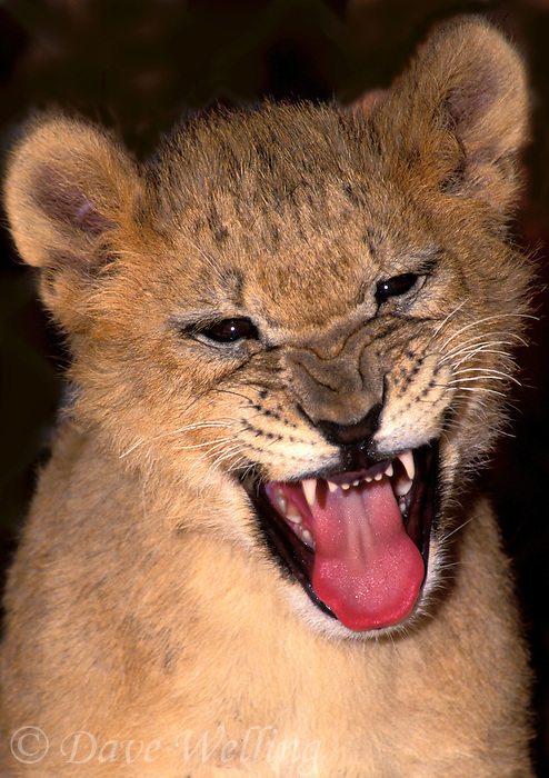 656259142 Snarling at the world, a tiny African lion cub, panthera leo, expresses his feelings about being a captive wildlife rescue animal.