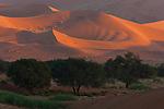 Namibia;  Namib Desert, Namib-Naukluft National Park, acacia trees in front of red sand dunes near Sossusvlei