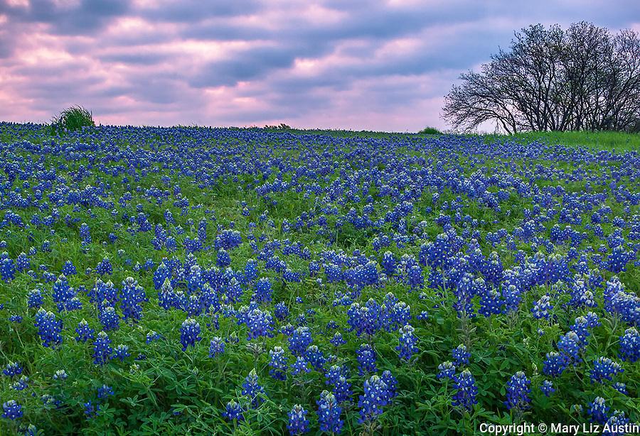 Ellis County, Texas: Field of Texas bluebonnets (Lupinus texensis) at dawn near Ennis.