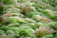 Windblown grasses on the American prairie.