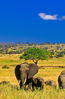 A herd of African elephants, Tarangire National Park, Tanzania