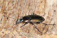 Kupferfarbener Buntgrabläufer, Grabläufer, Kupferiger Schulterläufer, Kupferfarbener Listkäfer, Gewöhnlicher Buntläufer, Laufkäfer, Poecilus cupreus, Pterostichus cupreus, ground beetle, carabid