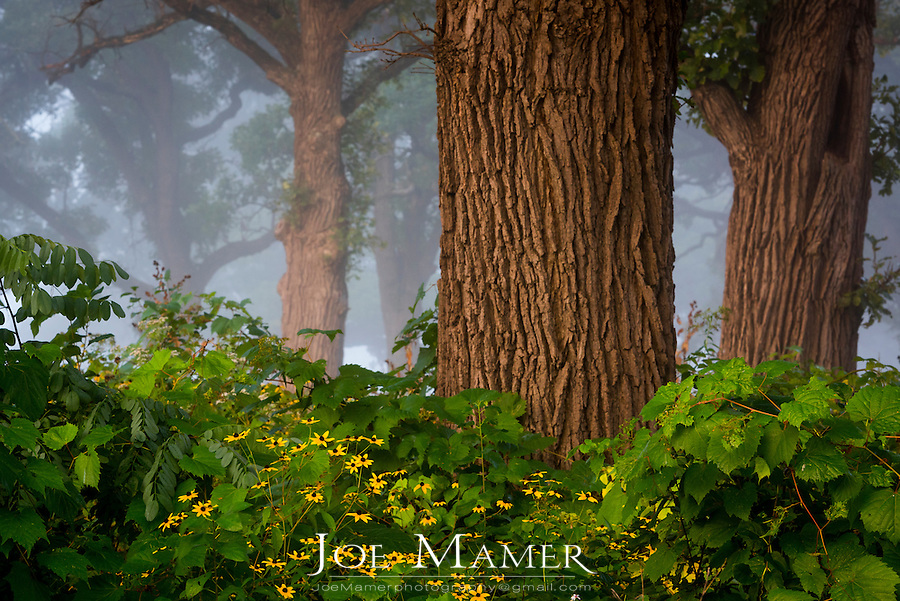 Oak savanna with wild flowers on a foggy late summer morning.