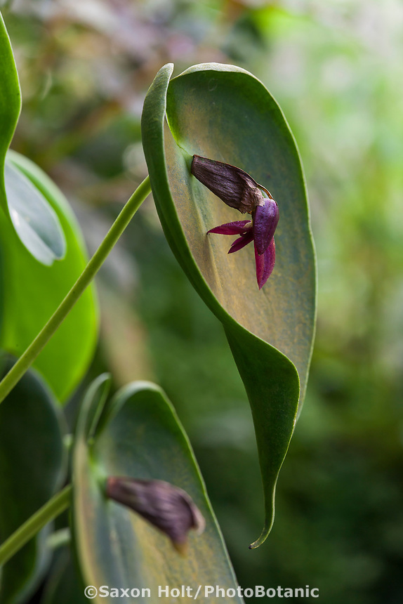 Pleurothallis cardiostola, small flowering orchid in San Francisco Conservatory of Flowers