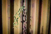A vine grows though a gam in the fence seperating Nogales, Arizona, from Nogales, Sonora Mexico. (Pat Shannahan/ The Arizona Republic)