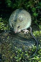 Birkenmaus, Waldbirkenmaus, Wald-Birkenmaus, Streifenhüpfmaus, Streifen-Hüpfmaus, Sicista betulina, Birch mouse, Northern birch mouse