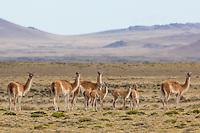 Guanacos in Patagonia, Argentina