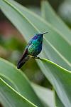 Perched - Green Violetear