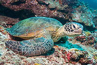 green sea turtle, Chelonia mydas, Lady Elliot Island, Great Barrier Reef, Queensland, Australia, Coral Sea, South Pacific Ocean