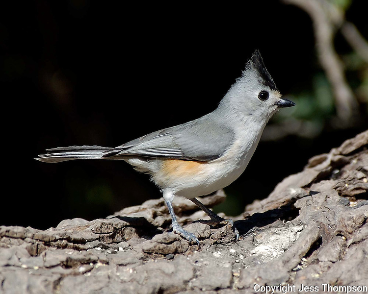 Titmouse, South Llano River State Park, Texas