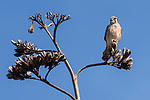 Lake Hodges, Escondido, San Diego, California; a male American Kestrel bird perched on top of an agave stalk