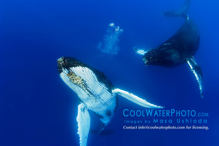 humpback whales, Megaptera novaeangliae, courtship behavior - male approaches female aggressively and female responds by blowing bubbles, South Pacific Ocean