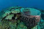 Giant barrel sponge (Xestospongia testudinaria)