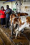 KENYA, County Bungoma, SANGÁLO Institute of Science and technology, dairy section, milking with machine / Milchviehhaltung, Melken mit Melkmaschine, rotes T-shirt GIZ Mitarbeiterin Flora Ajwera