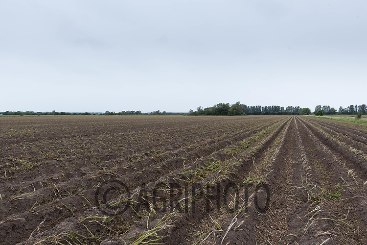 7.9.2020 Potatoes topped in the Lincolnshire fens ready for lifting.<br /> ©Tim Scrivener Photographer 07850 303986<br />      ....Covering Agriculture In The UK.