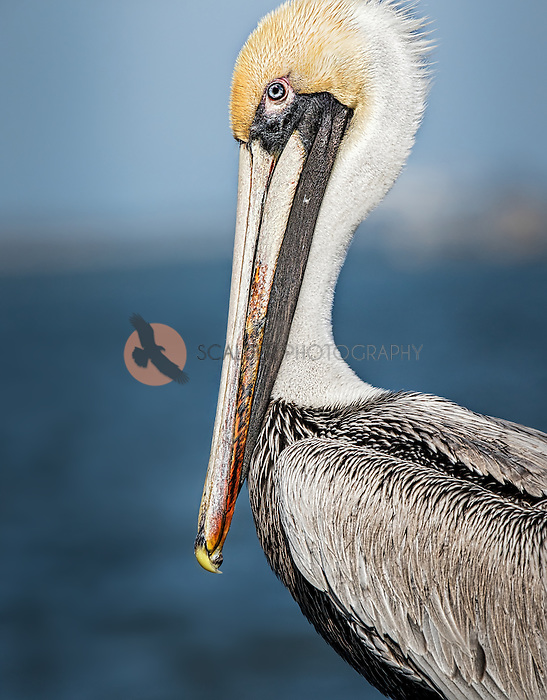 Close view of a Brown Pelican against blue water and sky