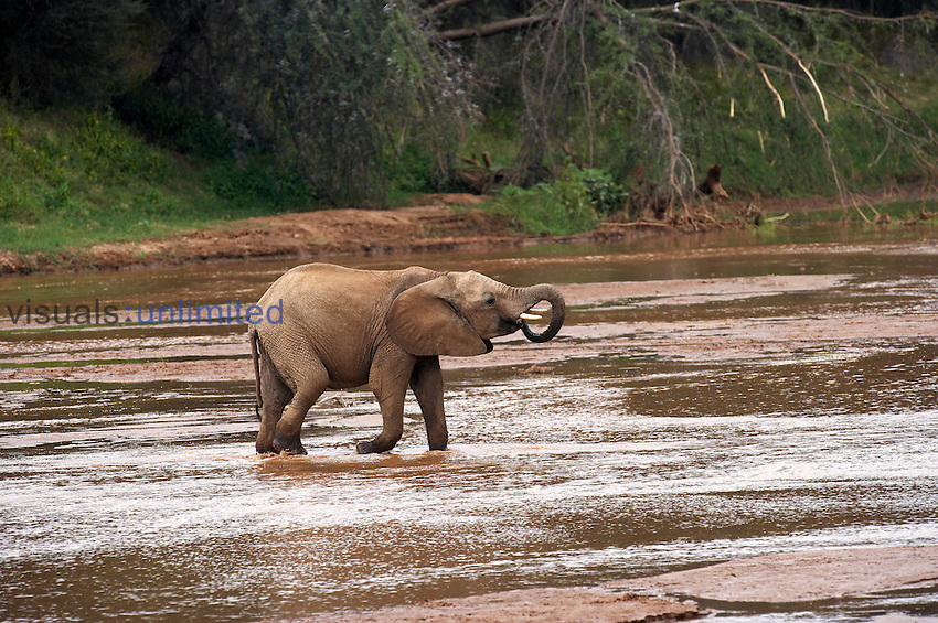 Young African Elephant drinking in a stream (Loxodonta africana), Kenya.