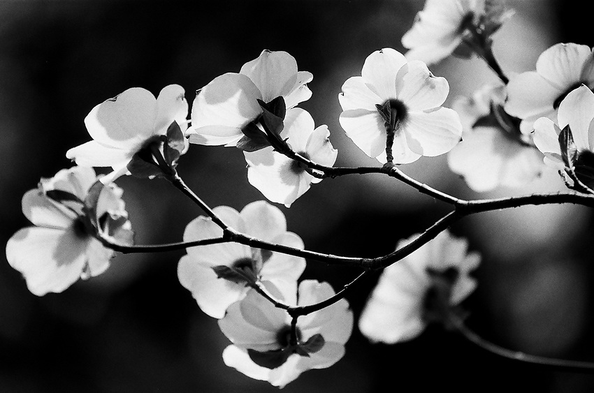 Backlit dogwood, 2019, Yosemite, CA  Film