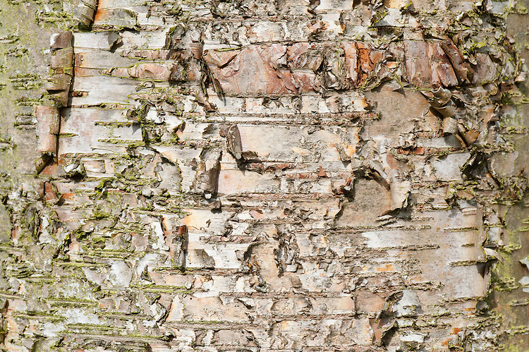 Trunk and bark of paper or canoe birch (Betula papyrifera).