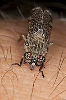 Regenbremse, sticht, beisst in menschliche Haut, Blutsauger, blutsaugend, stechend, Regenbogenbremse, Blinde Fliege, Gewitterbremse, Gewitter-Bremse, Faulstich, Haematopota pluvialis, cleg-fly, cleg