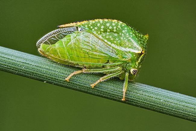 A Buffalo Treehopper on a blade of grass.
