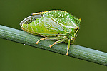 A Buffalo Treehopper on a blade of grass.