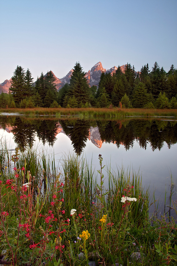 Wildflowers along backwaters of Snake River at dawn, Schwabacher Landing, Grand Teton National Park, Teton County, Wyoming, USA