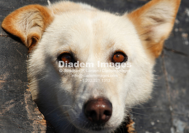 DULUTH, MN - JANUARY 30:  A sled dog pokes his head out of its cubby hole in the starting area of the John Beargrease sled dog marathon January 30, 2011 in Duluth, Minnesota.  (Photograph by Jonathan P. Larsen)