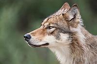 Wolf from the Grant Creek pack, Denali National Park, interior, Alaska.