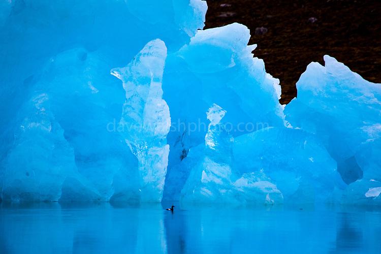 Black guillemot swims by an iceberg in Kongsfjord, Ny Alesund, Svalbard