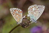 Hauhechelbläuling, Hauhechel-Bläuling, Gemeiner Bläuling, Wiesenbläuling, Paarung, Paar, Pärchen, Kopulation, Polyommatus icarus, Lycaena icarus, common blue, pairing