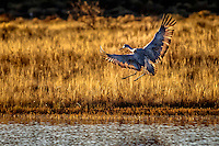 A sandhill crane lands at one of the ponds at Bosque del Apache NWR, backlit by thed setting sun.