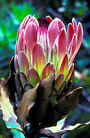 Pink protea (Duchess P. eximea) from Kula, Island of Maui