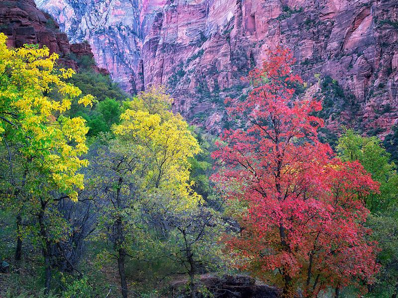 Fall color. Zion National Park, Utah.