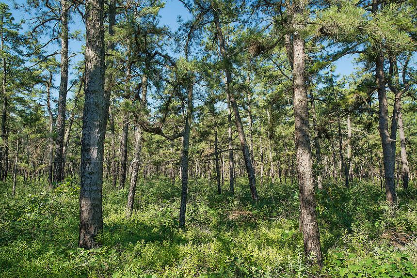 White cedar trees, Pine Barrens, New Jersey, USA