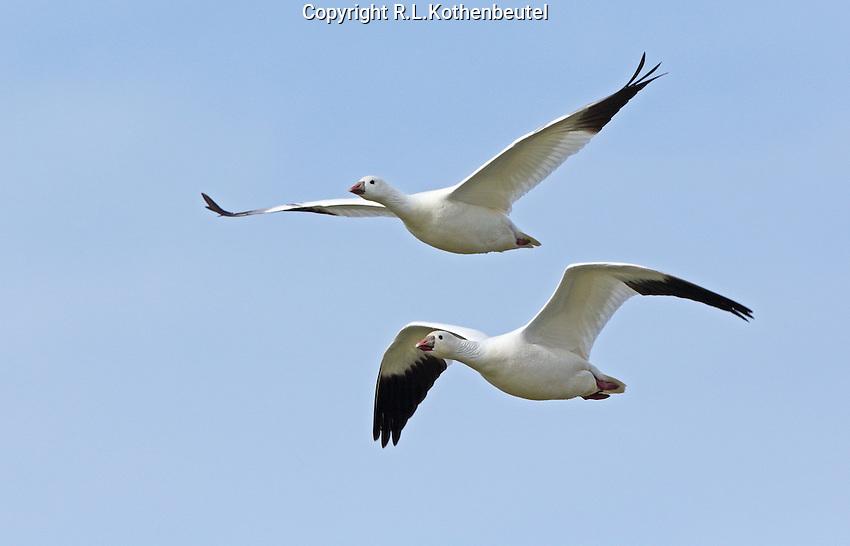 A pair of Ross's geese fly over the Klamath Basin<br /> Tule Lake<br /> Klamath Basin National Wild life Refuges, California<br /> 3/30/2015