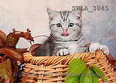 Carl, ANIMALS, photos(SWLA3845,#A#) Katzen, gatos