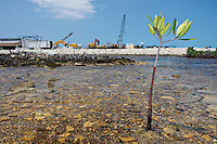 qa70580-D. one Red Mangrove (Rhizophora mangle) plant growing where once many thrived before development of the Bimini Bay Resort destroyed vital mangrove habitat. Bimini, Bahamas, Atlantic Ocean. .Photo Copyright © Brandon Cole. All rights reserved worldwide.  www.brandoncole.com..This photo is NOT free. It is NOT in the public domain. This photo is a Copyrighted Work, registered with the US Copyright Office. .Rights to reproduction of photograph granted only upon payment in full of agreed upon licensing fee. Any use of this photo prior to such payment is an infringement of copyright and punishable by fines up to  $150,000 USD...Brandon Cole.MARINE PHOTOGRAPHY.http://www.brandoncole.com.email: brandoncole@msn.com.4917 N. Boeing Rd..Spokane Valley, WA  99206  USA.tel: 509-535-3489
