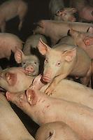 Allevamento. Breeding.Maiali.Pigs. ....